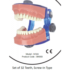 API Typhodont Teeth With Jaw & Articulator B561